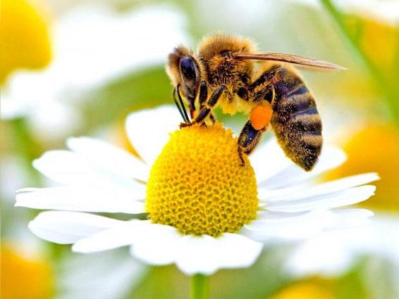 A devoção é semelhante as abelhas que tiram todo o mel da flor, sem deixá-las murchar, e as deixa intactas e frescas como as achou...